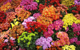 Как правильно выбрать хризантемы для букета
