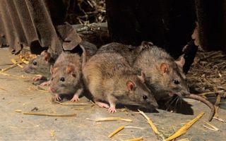 Отпугиватель крыс и мышей: какой лучше?