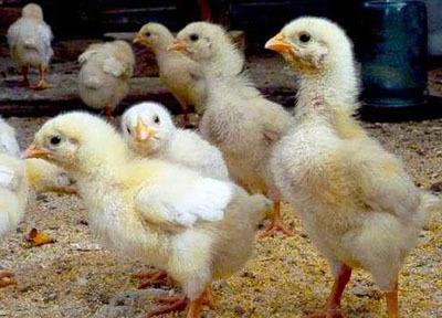 Как правильно выбрать цыплят бройлеров при покупке + видео