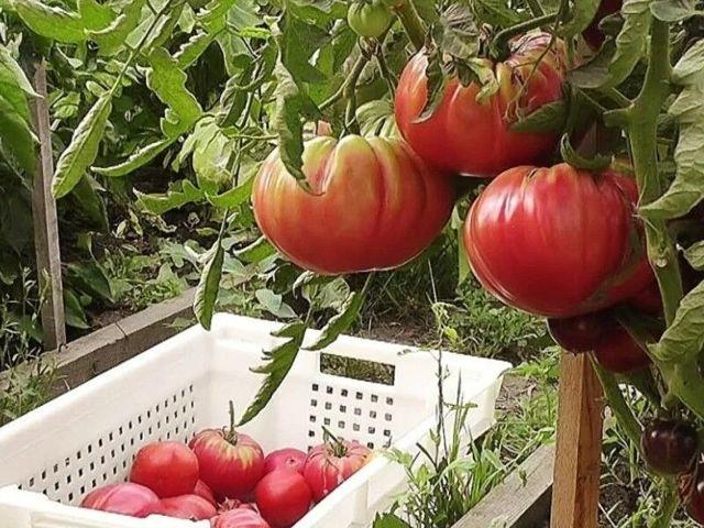 Томаты для теплицы из поликарбоната: какие выбрать семена помидоров для Сибири, Урала, Подмосковья, лучшие сорта