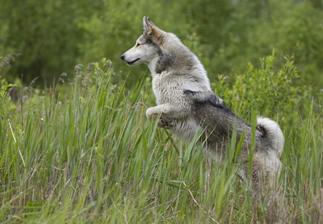 Как выбрать щенка лайки для охоты + видео