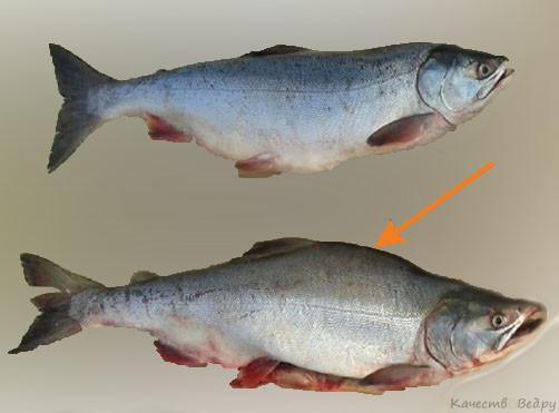 Горбуша как отличить самку от самца и выбрать с икрой (фото и видео)