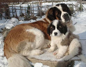 Лучшая собака для охраны: какую породу собаки выбрать для охраны частного дома