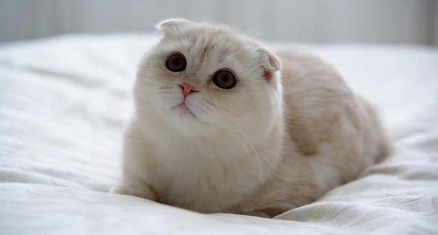 Шотландская вислоухая кошка: описание породы, характер, отзывы владельцев