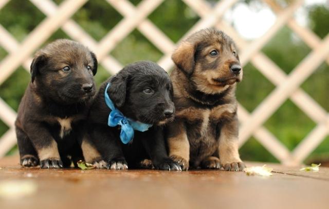 Как правильно выбрать щенка немецкой овчарки из помета + видео