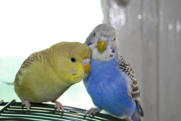 Волнистый попугай: как отличить самца от самки и выбрать здорового говорящего попугая + фото