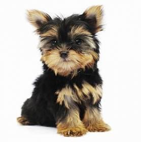 Йоркширские терьеры: как правильно выбрать щенка йорка из помета
