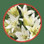 Как правильно выбрать лилии в магазине (для букета)