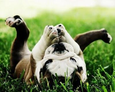 Как выбрать щенка французского бульдога: фото, видео, советы заводчиков