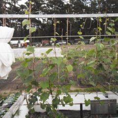 Как правильно выбрать виноград для посадки + видео